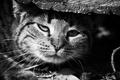 Картинка взгляд, морда, глаза, дикая кошка
