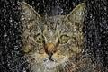 Картинка стекло, морда, капли, дождь, Кошка, окно
