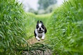 Картинка green, dog, scenery, hop, french, bulldog, running