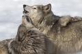 Картинка фон, волки, природа