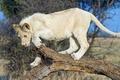 Картинка белый лев, хищник, дикая кошка, молодой