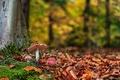 Картинка лес, природа, грибы, осень, листья, мухоморы
