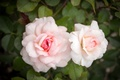 Картинка Розы, Цветы, Бутон