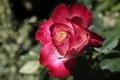 Картинка бутон, макро, лепестки, роза, капли