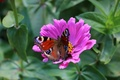 Картинка лето, макро, павлиний глаз, цветок, бабочка