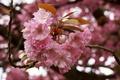 Картинка цветы, вишня, сакура