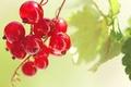 Картинка макро, смородина, природа, листочек, красная, листик, еда, лето, гроздь