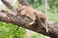 Картинка кошка, львица, отдых, дерево