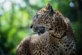 Картинка леопард, panthera pardus, хищник, Leopard, животное