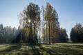 Картинка берез, утро, павловск, хоровод, осень