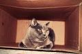 Картинка кошка, кот, коробка, пушистый, плюшевый, киса, британец, толстый