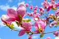 Картинка цветы, весна, магнолии