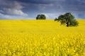 Картинка лето, рапс, поле