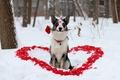 Картинка зима, цветок, взгляд, любовь, друг, роза, собака, лепестки, помада, пёс, сердечка