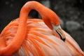 Картинка перья, краски, клюв, фламинго, птица