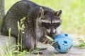 Картинка трава, игра, ©Tambako The Jaguar, мячик, енот