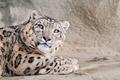 Картинка большая, кошка, snow leopard, снежный леопард
