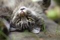 Картинка кошка, усы, серый, фон, уши, травинки, глаза, кот
