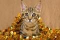 Картинка кот, позолота, золотая, бежевый фон, новый год, золото, полосатый, мишура, обои от lolita777, серый, праздник, ...