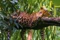 Картинка леопард, хищник, отдых, дерево, листья