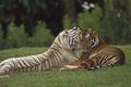 Картинка Тигры, хищник, дикая кошка, пара, любовь