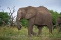 Картинка трава, слон, природа
