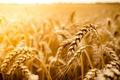 Картинка широкоэкранные, HD wallpapers, обои, пшеница, поле, рожь, полноэкранные, солнце, background, fullscreen, макро, широкоформатные, фон, macro, ...