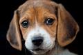Картинка портрет, бигль, собака