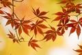 Картинка клен, ветка, осень, листья
