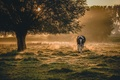 Картинка туман, утро, корова