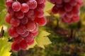 Картинка листья, капли, виноград, гроздь