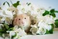 Картинка крыса, мордочка, цветы