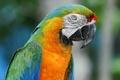 Картинка ара, попугай, птица
