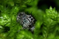 Картинка vegetation, leaves, eyes, Jumping Spider, Salticidae, paws, flycatcher spiders, spider