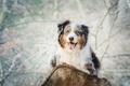 Картинка язык, взгляд, собака, бревно, Австралийская овчарка, Аусси