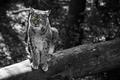 Картинка кошка, животное, серый, деревья, Рысь, желтые глаза, уши, The Lynx, семейство кошачьи, лес