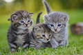 Картинка животные, серые, трава, котята, газон