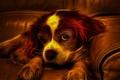 Картинка собака, взгляд, диван, щенок, огонь