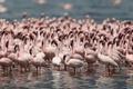 Картинка птицы, фламинго, популяция