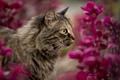 Картинка кошка, цветы, кот, природа