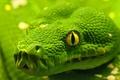 Картинка змея, макро, глаз