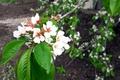 Картинка дерево, красота, цветы, пейзаж, абрикос