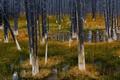 Картинка Yellowstone National Park, деревья, трава, болото, Вайоминг, США