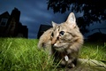 Картинка кошка, ночь, природа