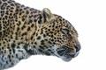 Картинка кошка, взгляд, ©Tambako The Jaguar, леопард