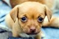 Картинка собака, взгляд, щенок