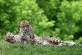 Картинка зелень, трава, кошки, отдых, хищники, пара, дикие, лежа, гепарды