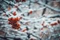 Картинка деревья, холод, зима, снег, рябина