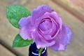 Картинка вода, лепестки, роза, цветок, капли