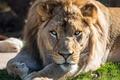 Картинка взгляд, морда, отдых, лев, лапы, хищная кошка